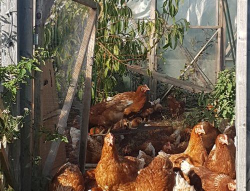 Høns i drivhus