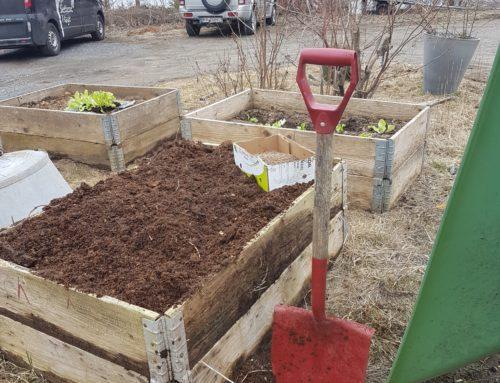 Vårens første utplanting og direktesåing, i plantekasser